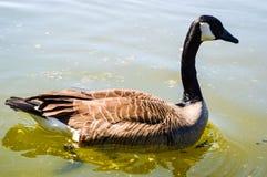 滑动在水的鸭子 免版税库存照片
