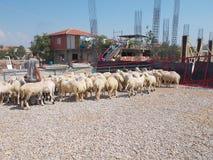 移动在绵羊中的牧羊人 图库摄影