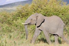 移动大草原草原,马塞语玛拉,肯尼亚的一头巨大的非洲大象 库存照片