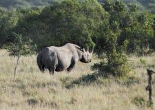 移动密林的黑Rhinocerous 免版税库存照片