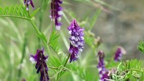 移动微风的紫色羽扇豆紧的射击 影视素材
