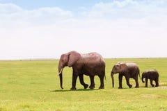 移动根据高度的三头非洲大象 免版税库存图片