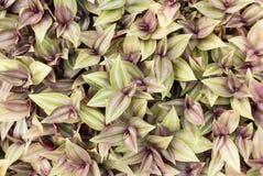 移动植物、漫步的犹太人或者紫鸭跖草zebrina 库存图片