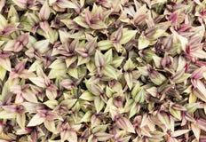 移动植物、漫步的犹太人或者紫鸭跖草zebrina 免版税图库摄影