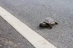 移动横跨路的亚洲乌龟 库存照片
