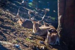 动物享受太阳的去年秋天光芒,与家神的鹿 免版税图库摄影