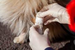 动物军医在狗上把绷带放 库存图片