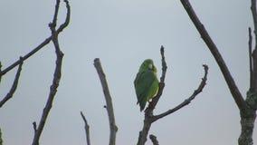 动物区系鹦鹉perico自然 影视素材