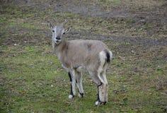 动物区系 敌意 山羊 免版税库存图片