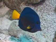 动物区系植物群红海特性黄尾鱼 免版税库存照片