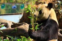 动物危险的大熊猫 免版税图库摄影