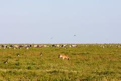 动物和鸟在塞伦盖蒂,坦桑尼亚大草原  免版税库存照片