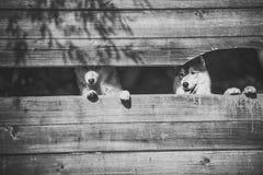 动物园、风雨棚、农场或者囚禁 爱斯基摩或狼在木背景,拷贝空间 库存照片