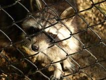 动物园公园Poppi意大利:浣熊 免版税库存照片