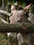 动物园公园Poppi意大利:驴 库存图片