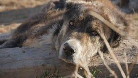 动物园动物,狗 免版税库存照片