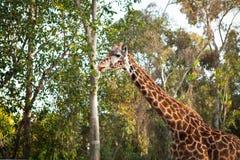 动物园圣地亚哥-长颈鹿 免版税图库摄影
