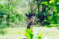 动物园小长颈鹿 免版税库存照片