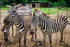 动物园徒步旅行队的斑马封入物在户外特立尼达和多巴哥编组 库存照片