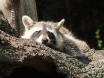 动物园浣熊 库存图片