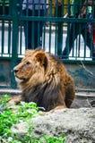 动物园的国王 免版税库存图片