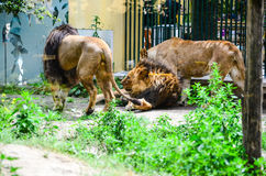 动物园的国王 库存照片