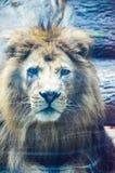 动物园的国王 图库摄影
