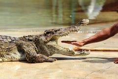 动物园管理人在泰国放他的手入鳄鱼的下颌 免版税图库摄影