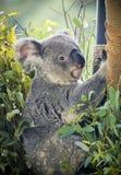 动物园考拉 免版税库存照片