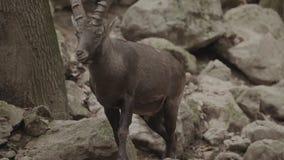 动物园走的山羊座 股票录像