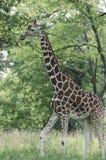 动物园长颈鹿 库存图片