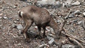 动物园饮用水的山羊座从小河 股票录像