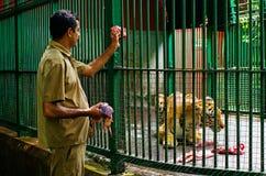 动物园饲料大老虎,印度职员  免版税库存图片