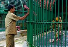 动物园饲料大老虎,印度职员  免版税图库摄影
