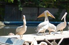 动物园,伯尼亚萨,罗马尼亚,鸟,两鹈鹕, 库存照片