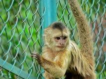 动物园猴子 免版税库存照片