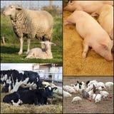 动物国内公牛的母牛 免版税库存照片