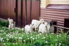 动物国内公牛的母牛 免版税图库摄影
