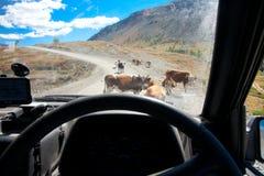 动物国内牧群 库存图片