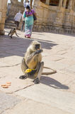 动物在印度南平的叶猴的一只猴子吃曲奇饼哺养 免版税图库摄影