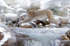 动物在小河上跳跃 胡闹日本短尾猿,猕猴属fuscata,跳跃横跨冬天河,雪石头在背景, Hokk中 免版税库存图片