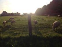动物在有绿草和阳光的农田里吃着 库存照片