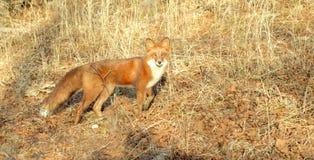 动物在木头的Fox 免版税库存图片
