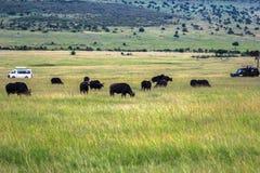 动物在马赛马拉,肯尼亚 库存图片