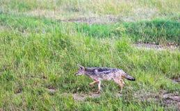 动物在马赛马拉,肯尼亚 库存照片