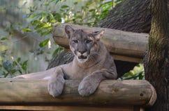 动物在Busch庭院 免版税库存照片