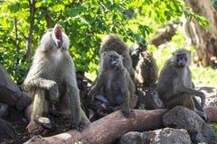 动物在Ngorongoro,坦桑尼亚 图库摄影