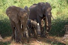 动物大象 图库摄影