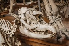 动物头骨特写镜头在大厅的古生物学和比较解剖学画廊的在巴黎 库存照片