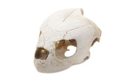 动物头骨 库存照片